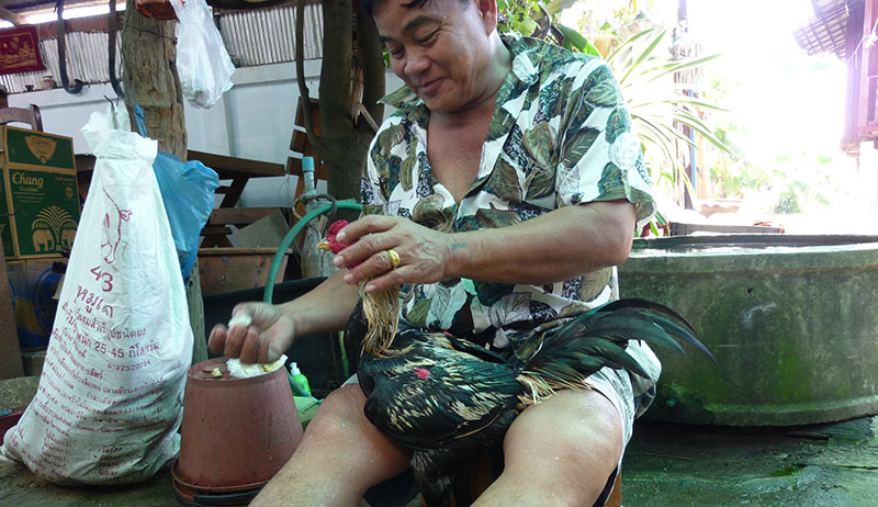 My uncle washing a prized cock for fighting.