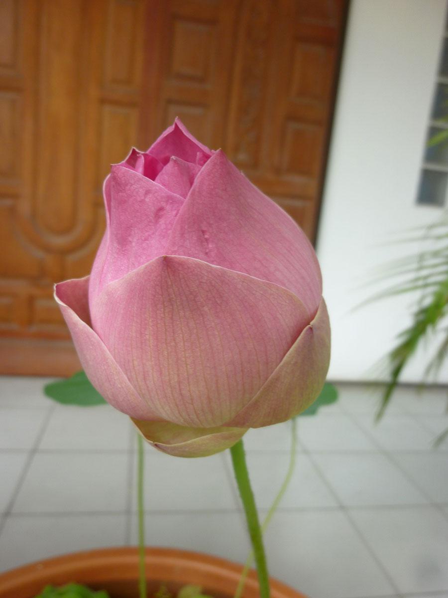 lotus-0