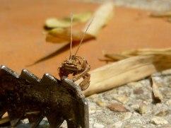 crab-like-bug