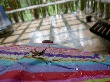 grasshopper-bird