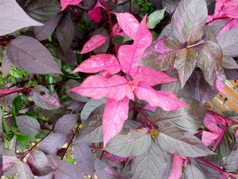 purple-leaves