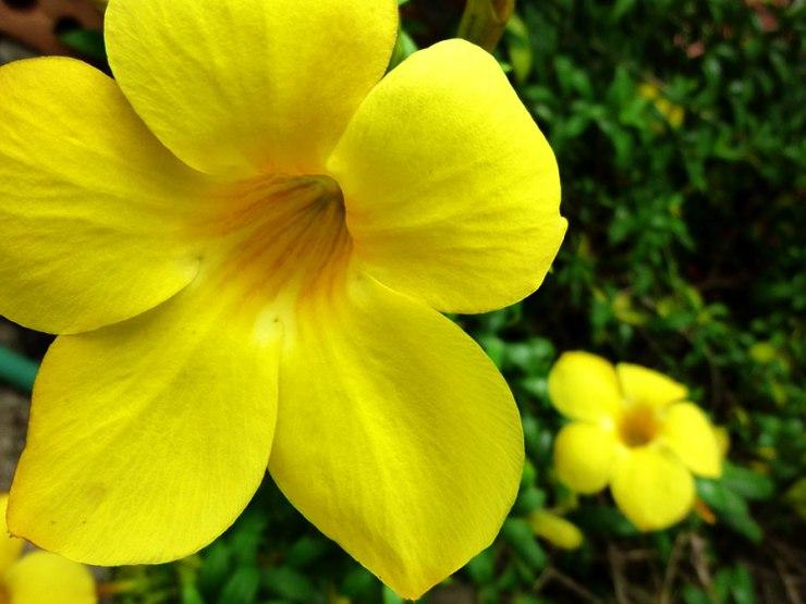 yellow flower in chiang rai