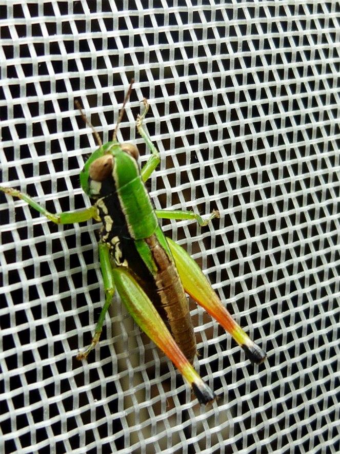 rainbow-grasshopper