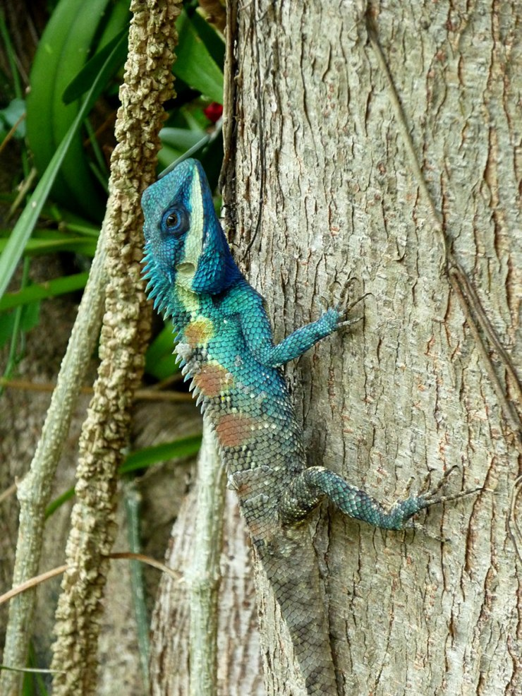 Tree agama at Wat Chaidtupon.