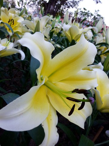 lily-yellow