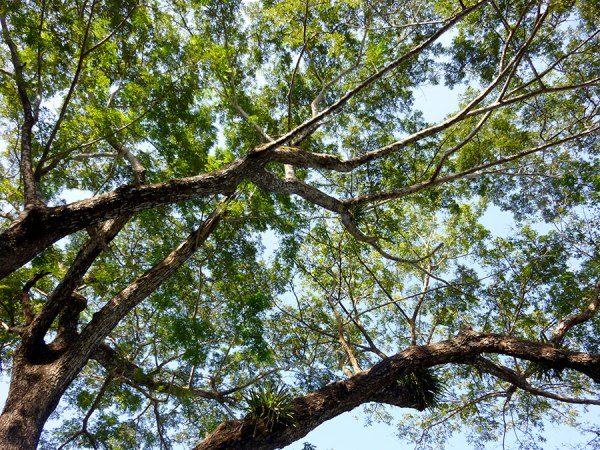 looking up at trees in chiang rai