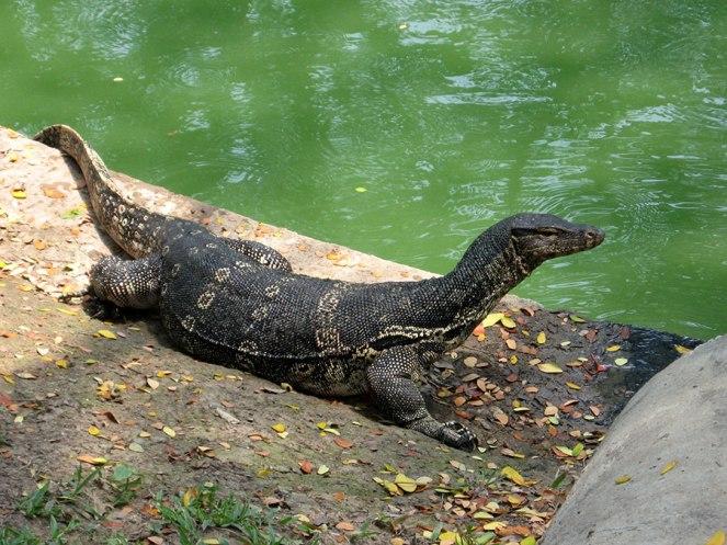BKK monitor lizard