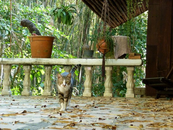 cat walking on patio in chiang mai