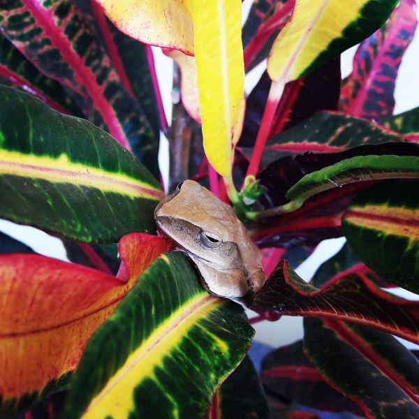 Cambodian tree frog