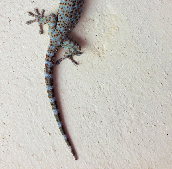 bottom half of a Cambodian Tokay gecko