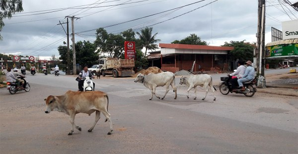 Cow crossing in Kampot, Cambodia