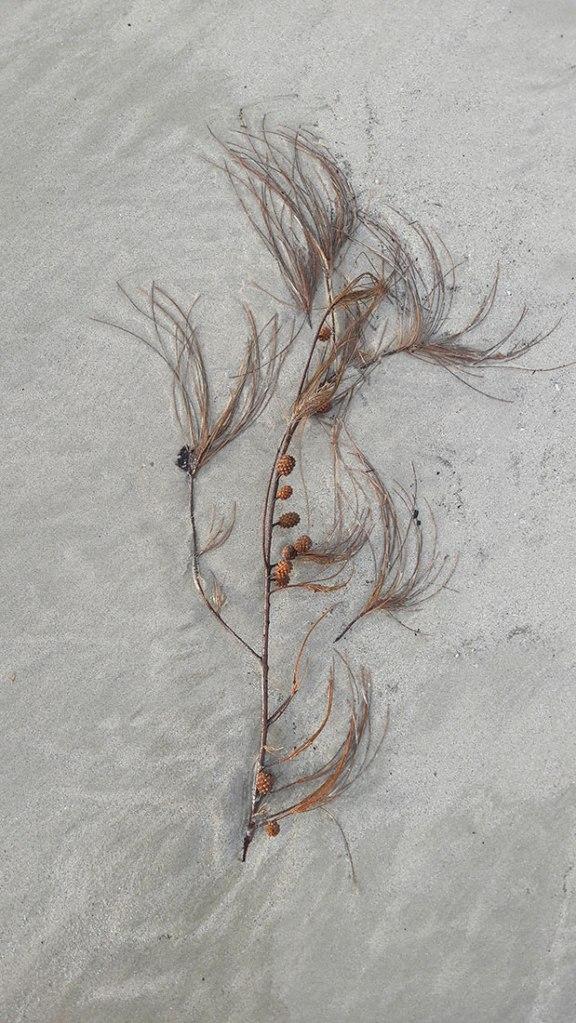 pine tree branch on the beach
