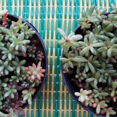succulent-ground-cover